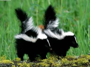 skunk1